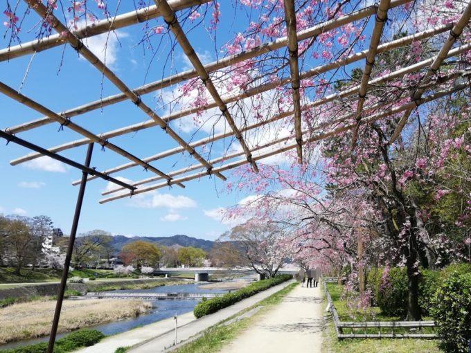 2019年4月9日の半木の道の枝垂れ桜