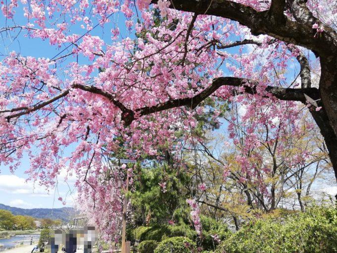 2019年の半木の道の枝垂れ桜