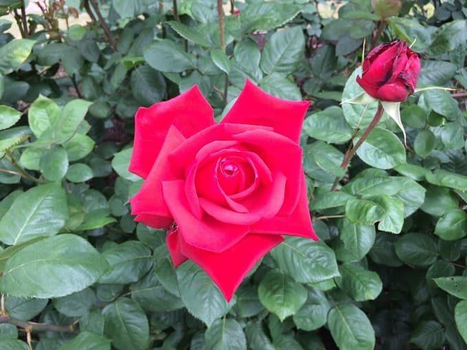 靱公園のバラ