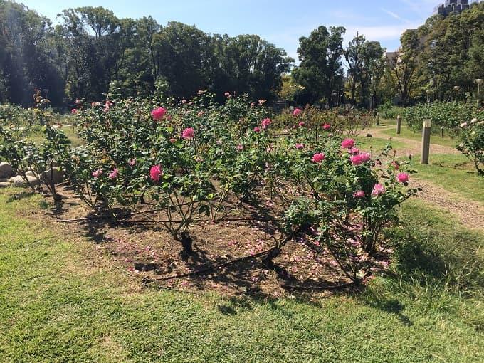 靱公園のバラの咲き具合