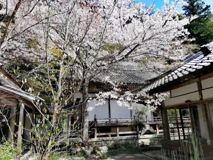 如意輪寺の庭園内の桜