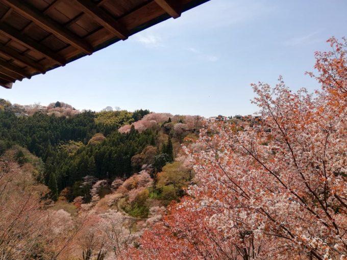 如意輪寺のお茶処(花見座敷)からの桜風景