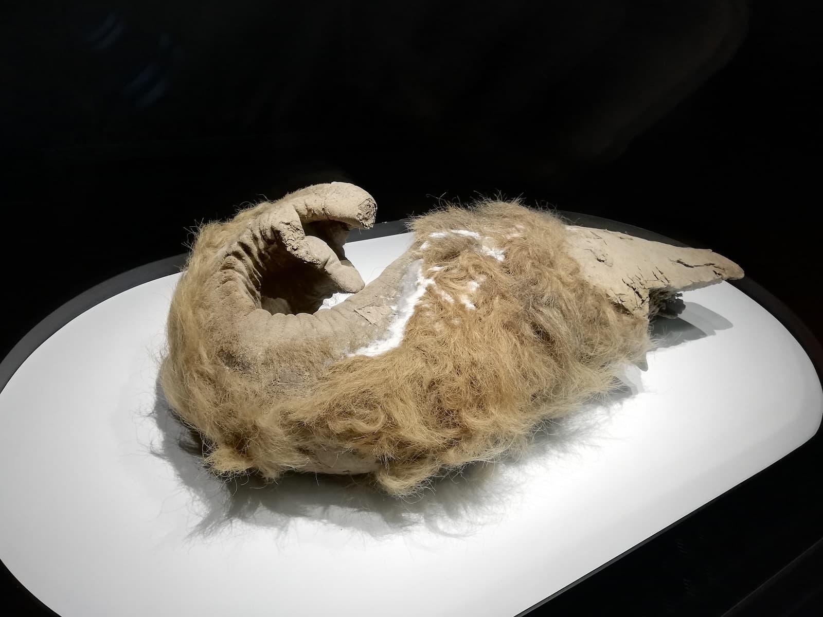 マンモスの鼻の冷凍標本