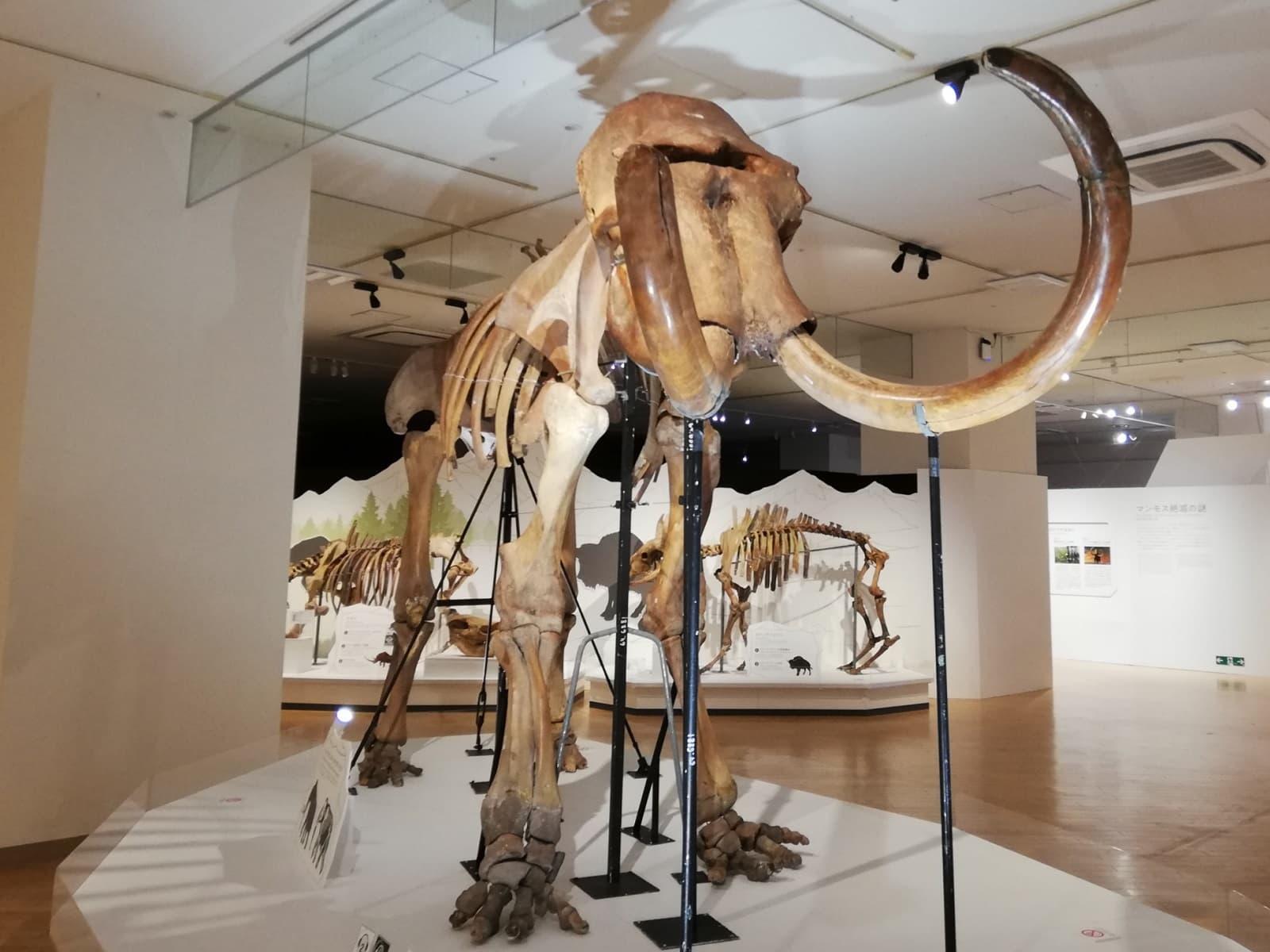 マンモスの全身骨格標本